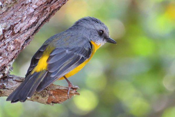 Atherton Tablelands Great Barrier Reef Birding Tour